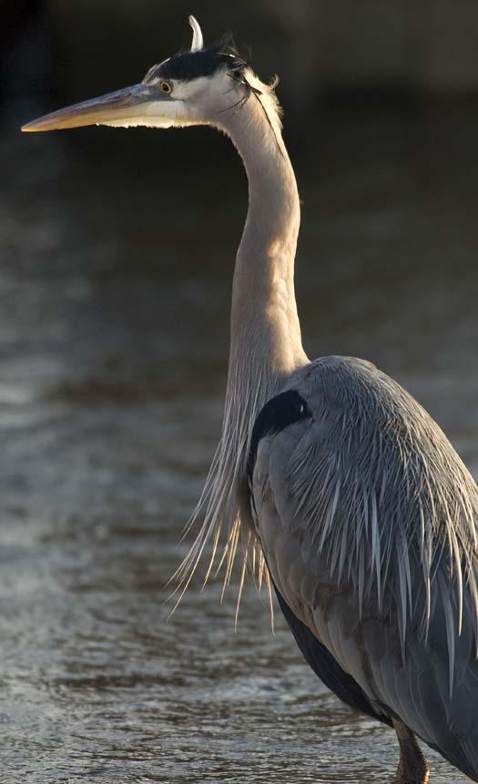 1-15-2008-heron-ducks-eagle-at-sunset-primehook_5692copy1.jpg