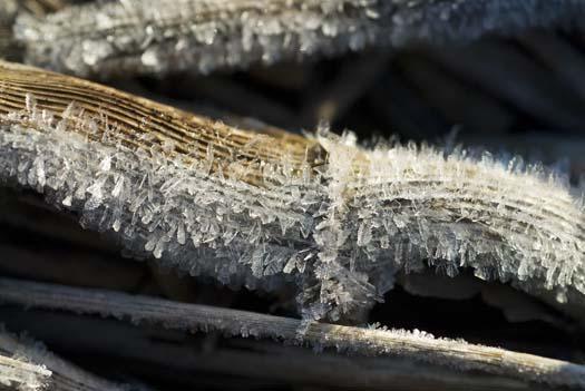 1-21-2008-frost-in-marsh-snow-geese_5960copy1.jpg