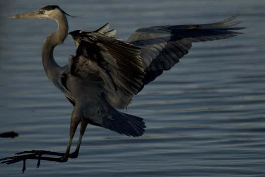 1-30-2008-heron-shoveler-fowler_6842copy1.jpg