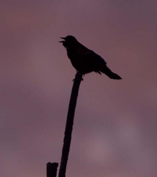 1-31-2008-icy-creek-pintail-heron-blackbird-fowler_7279copy1.jpg