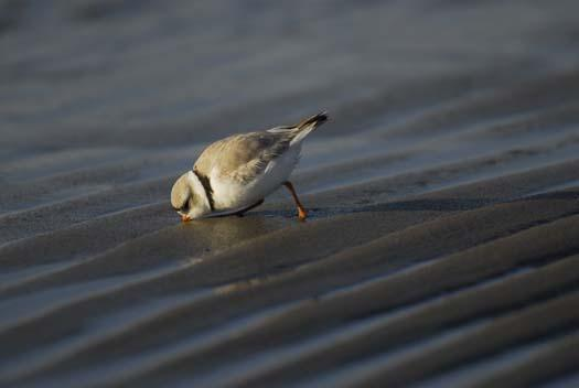 20080330_piping-plover-3-30-2008_1040.jpg