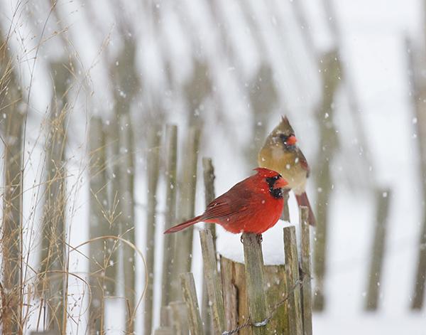 CardinalSnowstorm_11x14