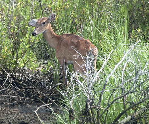 Deer in LR Canal. Kevin in Gallery 6.22.3