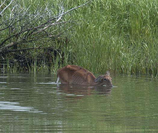 Deer in LR Canal. Kevin in Gallery 6.22