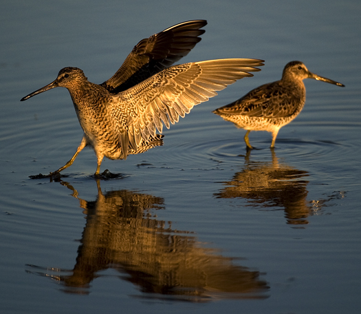 Dowitchers Fowlers 5.15.2010_051510_9784