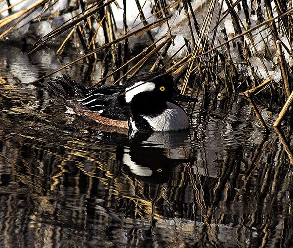 Ducks Canary Cr 2.20.2015_0855