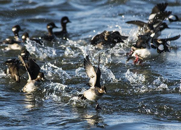 Ducks IR Inlet 1.17.2015_0968