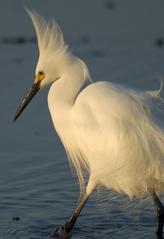 Egrets Fishing24-16-2009_041609_7349