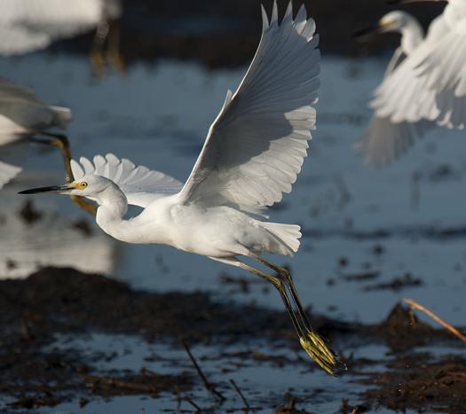 Egrets Prime Hook 9.6