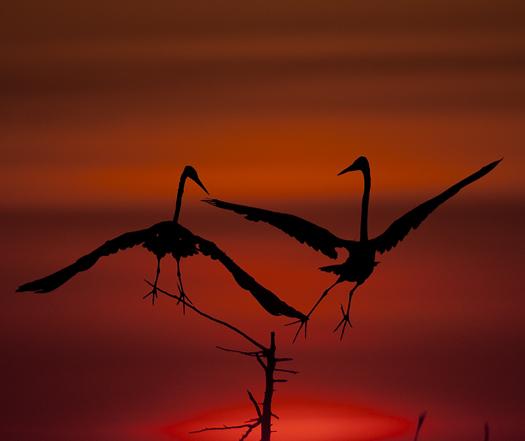Egrets Sunrise 7.5