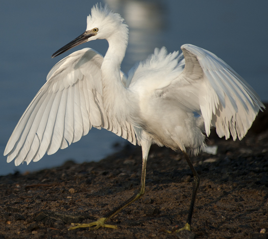 Egrets Terns Prime Hook 8.17