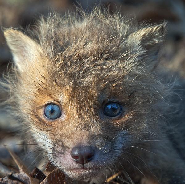 Fox Kit, Baby Squirrel 4-11-2008_2544