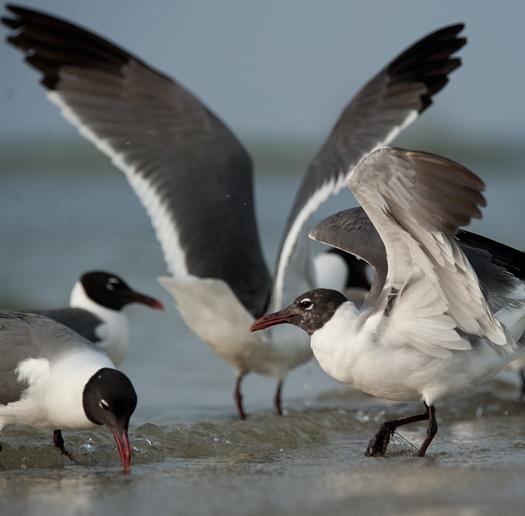 Gulls 2   6.20