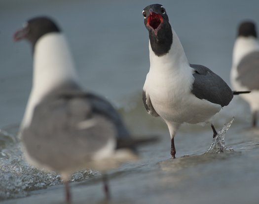 Gulls 6.20