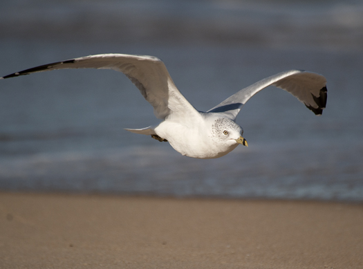 Gulls Sanderling 9.5