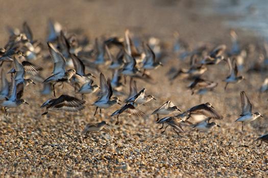 H Crabs Shorebirds Slaughte B 5.20.2014_7242.1