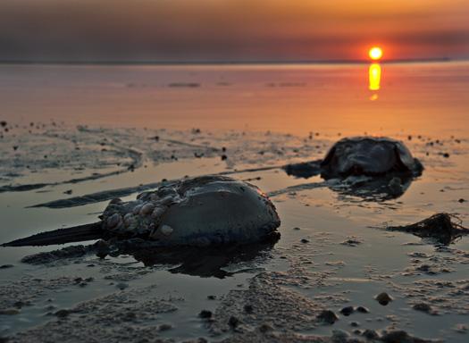H Crabs Shorebirds Slaughte B 5.20