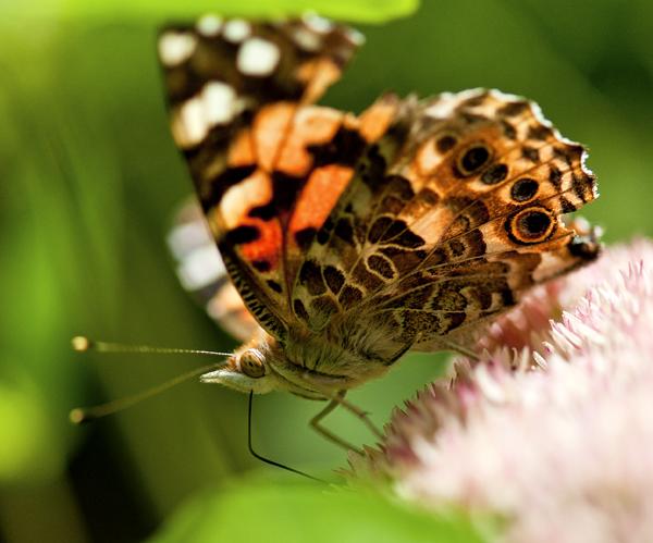 Marsh Sunrise .Butterfly 9.16.2012_1126