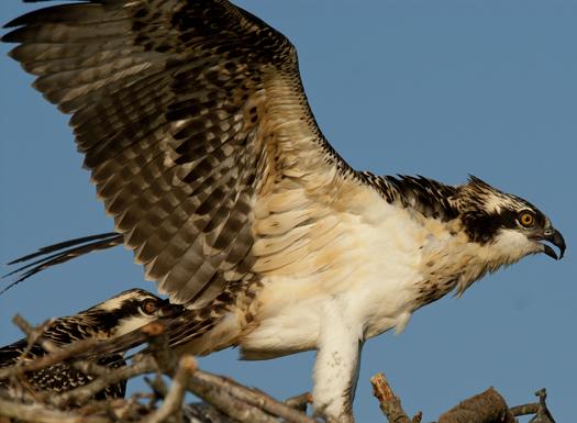 Osprey Nest 7-13-2008_071308_6132