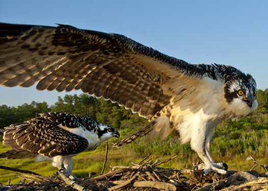 Osprey Nest 7-13-2008_071308_6410