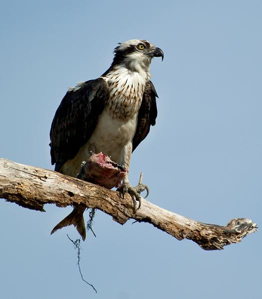 Osprey W Fish 5.5.2014_7001