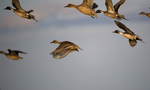Pintails 1.2.2010_010210_9192