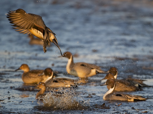 Pintails 1.2.2010_010210_9225