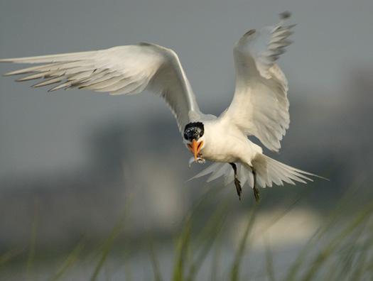Royal Terns 6-14-2009_061409_1823