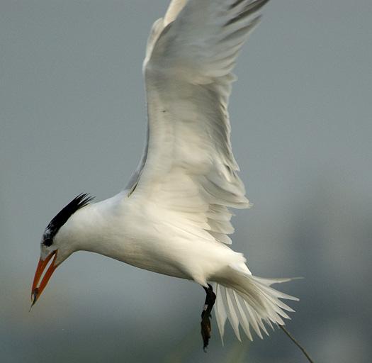 Royal Terns 6-14-2009_061409_1891
