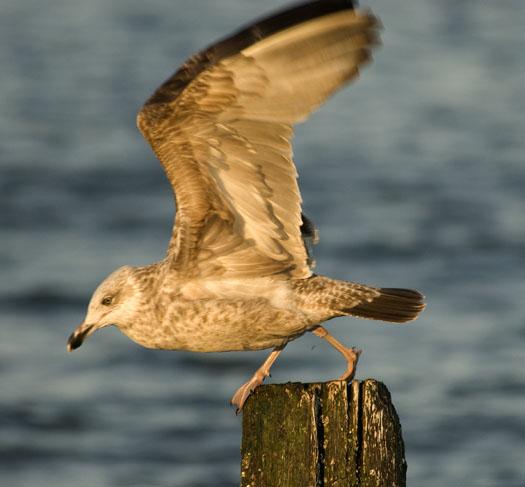 Ruddy Turnstones, Gulls 3-2-2008_9324