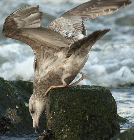 Ruddy Turnstones, Gulls 3-2-2008_9396