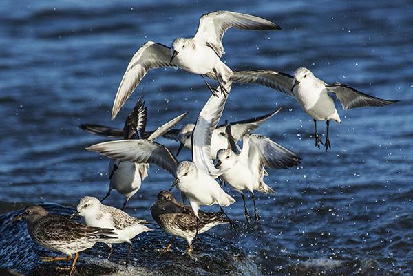 Shorebirds IRInlet 1.31.2015_1360