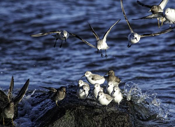 Shorebirds IRInlet 1.31.2015_1402