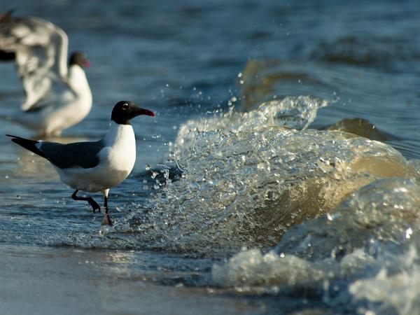 Shorebirds Prine Hook Beach 5.25.2014_8275