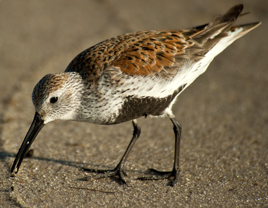 Shorebirds Prine Hook Beach 5.25