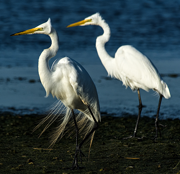 Skimmers.GBH_.Egrets-5.20.2015_4263