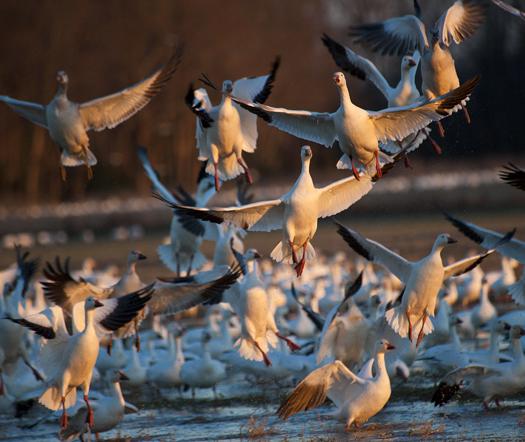 Snow Geese 12.31.2013_0436
