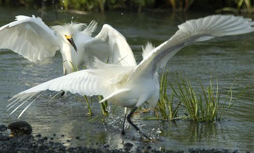 Snowy Egrets 6-20-2009_062009_2263