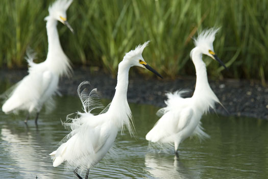 Snowy Egrets 6-20-2009_062009_2503