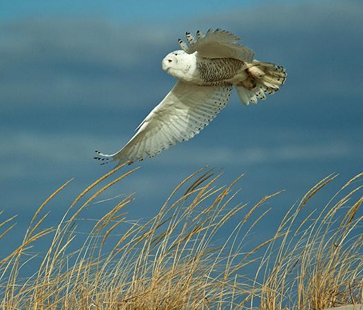 Snowy Owls 12.21.2013_3208
