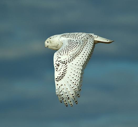 Snowy Owls 12.21.2013_3212