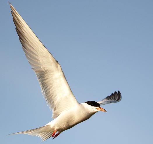 Terns 7.5