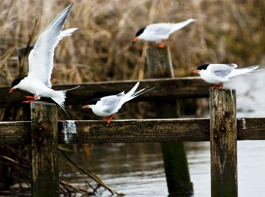 Terns in Wind 4.29.2014_6480