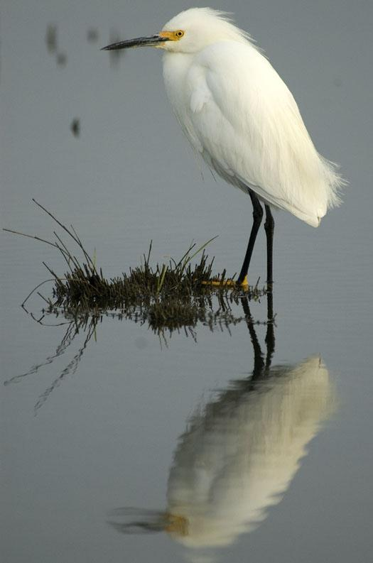 black-bellied-plover-egrets-5-12-2009_051209_9029
