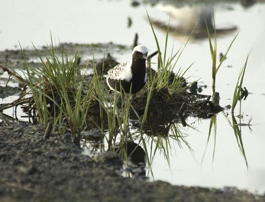 black-bellied-plover-egrets-5-12-2009_051209_9032