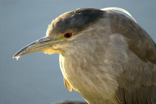 black-crowned-heron-and-clapper-rail-2-25-2009_022509_3427