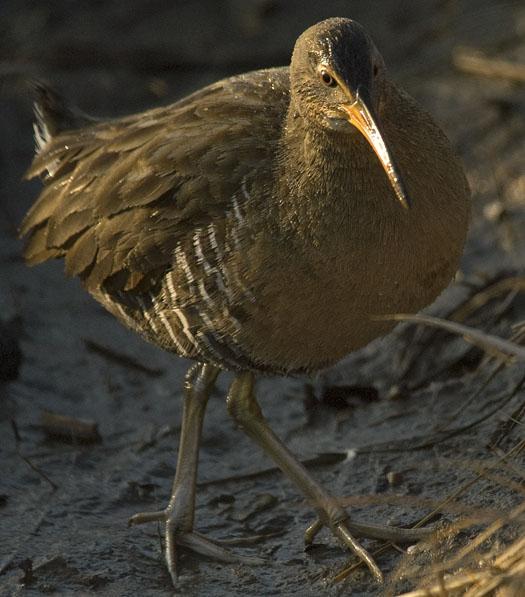 black-crowned-heron-and-clapper-rail-2-25-2009_022509_3462