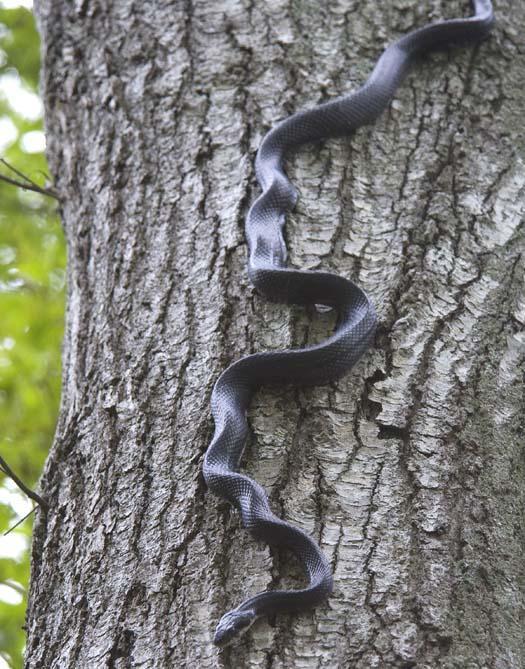 black-snake-5-18-2008_051808_6659.jpg