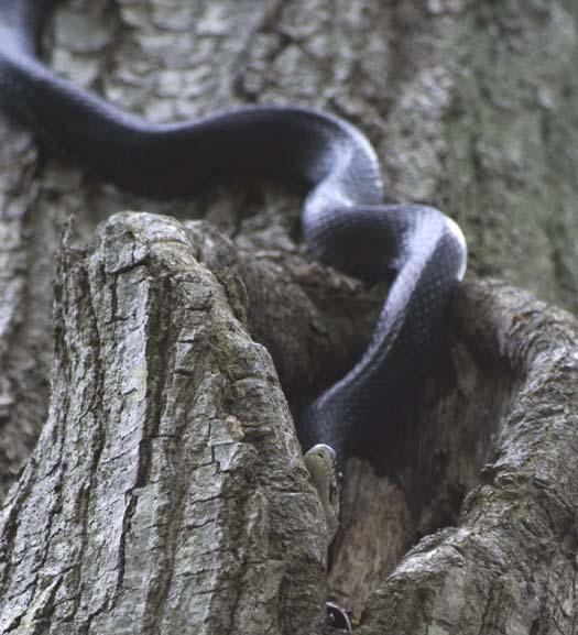 black-snake-5-18-2008_051808_6668.jpg