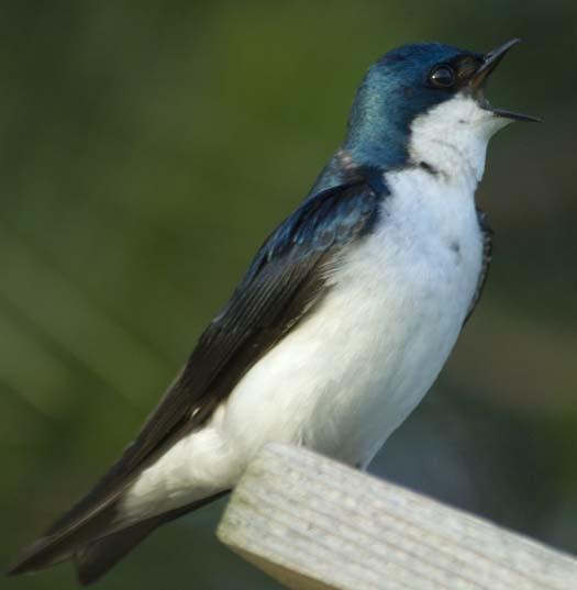 bluebirds-6-6-2008_060608_3223.jpg